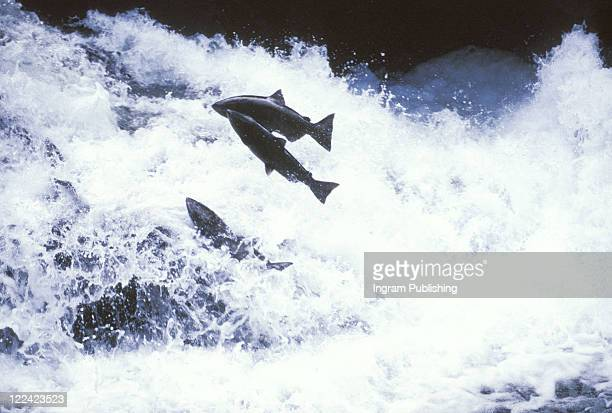 Three fish jumping over a river