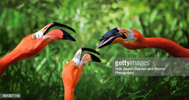 three flamingo heads against green background - wader bird stock photos and pictures