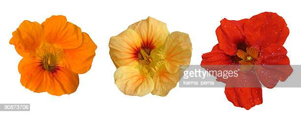 three flower heads - nasturtium stock pictures, royalty-free photos & images