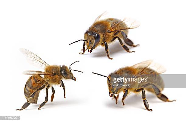 three flying bee (isolated) xxl - bee stock pictures, royalty-free photos & images