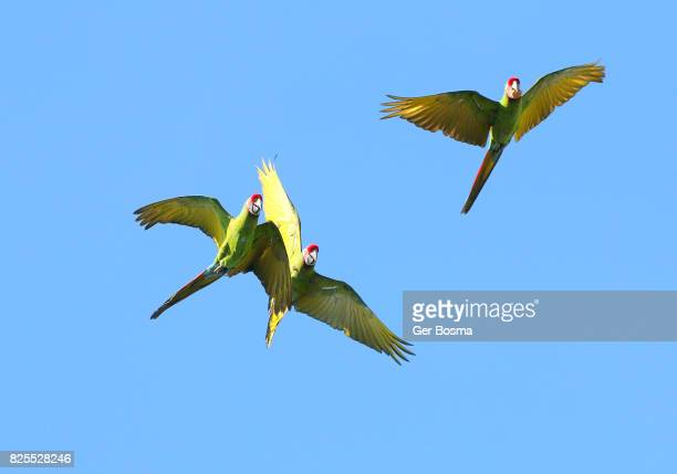 Three Flying Military Macaws