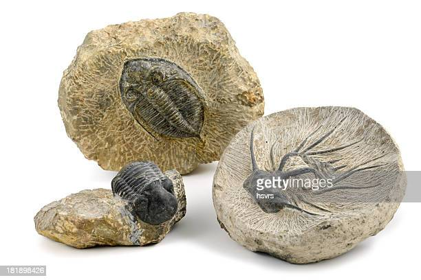 three fossil of a trilobite on isolated white background - cambrian stock pictures, royalty-free photos & images