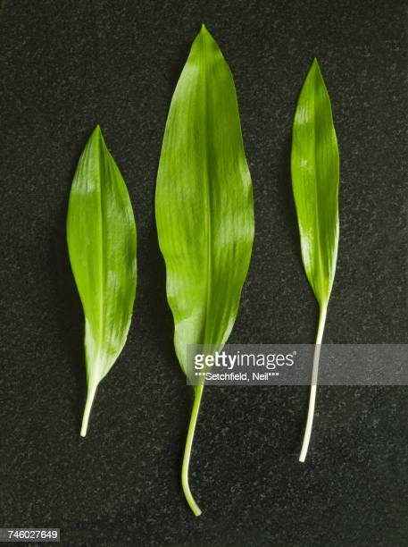 three fresh ramsons (wild garlic) leaves - ail des ours photos et images de collection