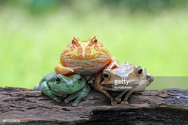 Three frogs sitting on a log, Indonesia