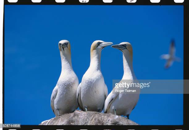 three gannets - gannet stock pictures, royalty-free photos & images
