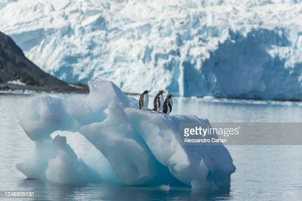 Three Gentoo penguins looking at the same side on top of the iceberg at Yellow Point Beach, on January 01, 2020 in King George Island, Antarctica.