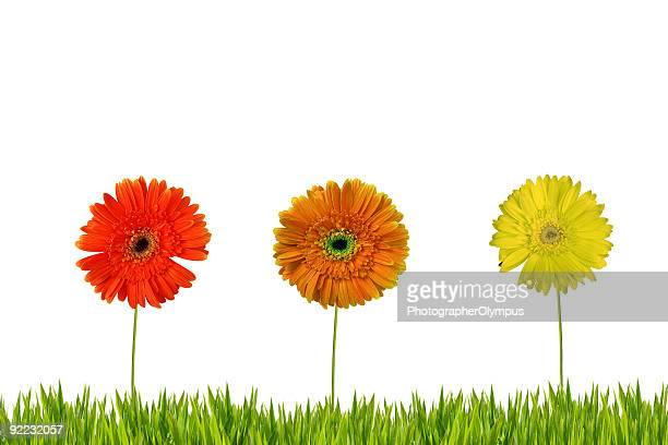 three gerberas on grass isolated - chlorophyll stock pictures, royalty-free photos & images