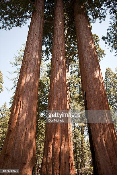 three giant sequoia trees - three objects stock pictures, royalty-free photos & images