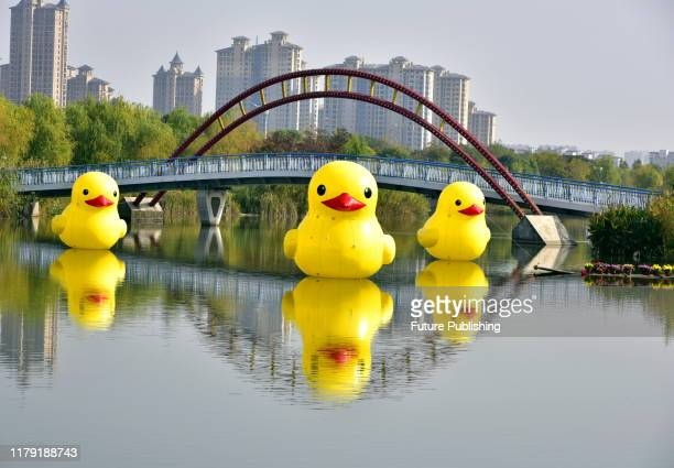 RUGAO CHINA OCTOBER 31 2019 Three giant yellow duck float on the water of Longyou River Ecological Park in Rugao East China's Jiangsu Province...
