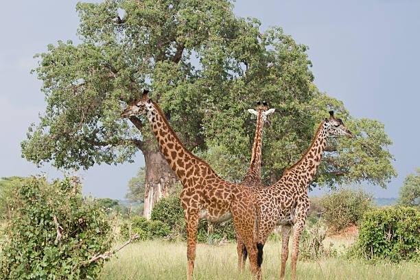 Three Giraffes and Baobab Tree