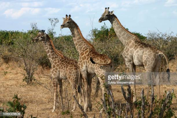 three giraffes (giraffa camelopardalis), botswana - vista lateral stock pictures, royalty-free photos & images