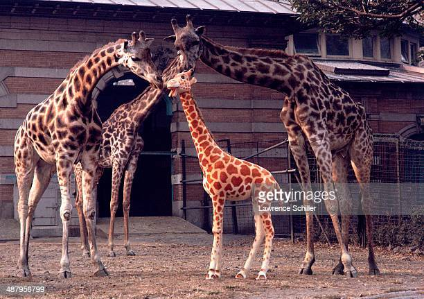 Three giraffes in the Central Park Zoo examine a nearly lifesize toy giraffe in their midst New York New York 1963