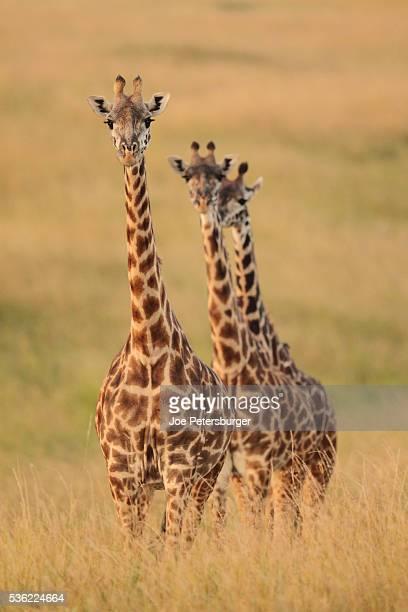 Three giraffes stand in high grass at sunset