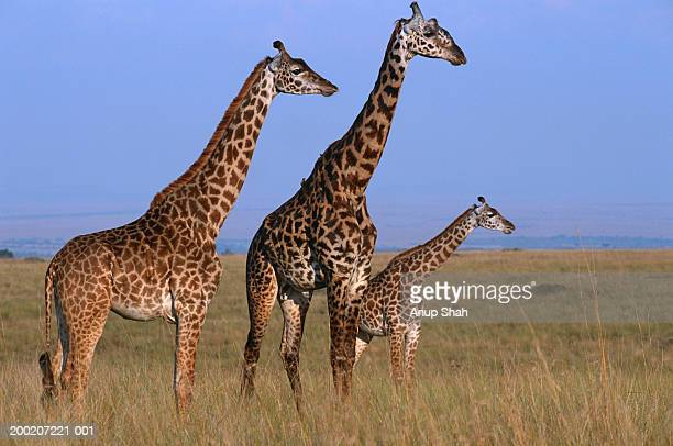 three giraffes (giraffe camelopardalis tippleskirchi) standing in grassland, masai mara n.r, kenya - animal family stock pictures, royalty-free photos & images