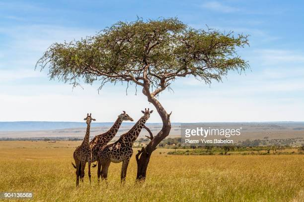 three giraffes under acacia tree - mimosa stock pictures, royalty-free photos & images