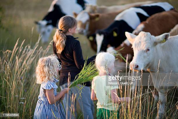 three girls feeding cows - livestock stock pictures, royalty-free photos & images