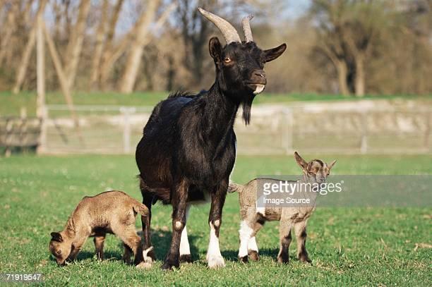 Three goats in field