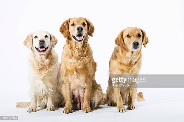 three golden retrievers - golden retriever stock pictures, royalty-free photos & images