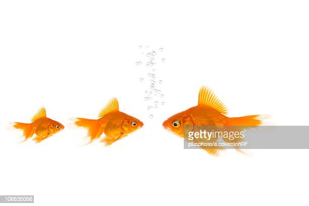 three goldfishes - plusphoto stock pictures, royalty-free photos & images