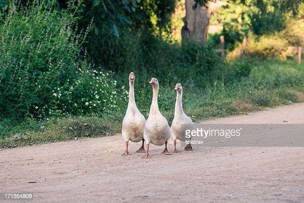 Three Gooses walking on the road