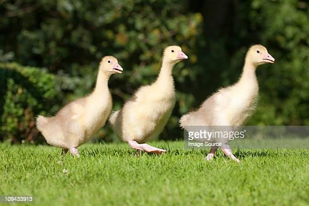 Three goslings walking on grass