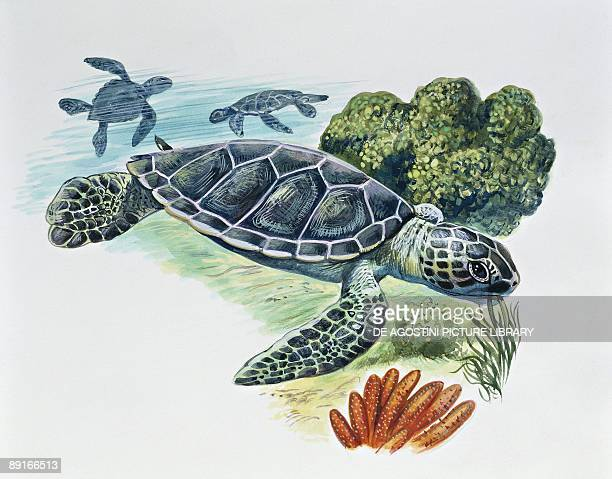 Three Green sea turtles swimming illustration