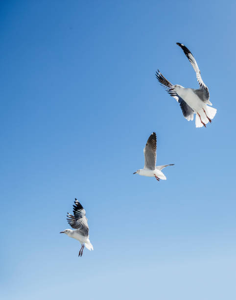 Three  grey headed gulls Larus cirrocephalus hovering over potential food at the coast Mossel Bay Western Cape Province South Africa.