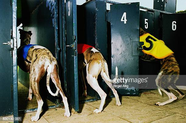 Three greyhounds entering traps, rear view, close-up