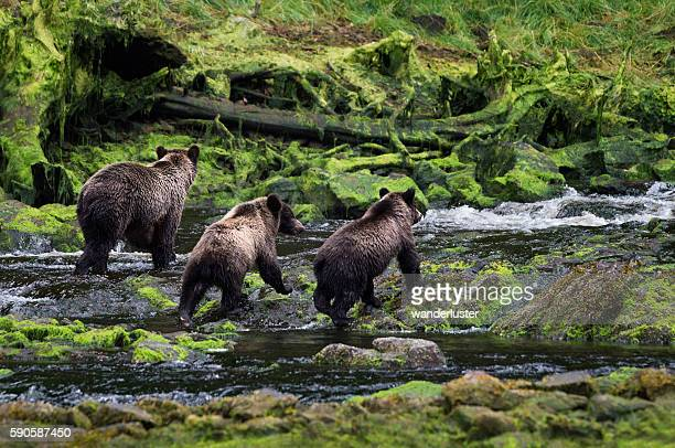 Three grizzly bears walk together down a rainforest stream