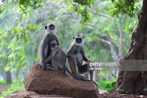 three hanuman langurs rest on a rock. - alex saberi stock pictures, royalty-free photos & images