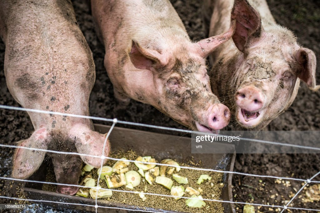 Three happy pigs eating in their pen in a barn : Stock Photo