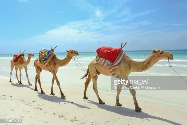 three healthy dromedaries (camelus dromedarius) aka arabian camels slowly walking on white indian ocean sands of diani beach, kenya, africa - kenya stock pictures, royalty-free photos & images
