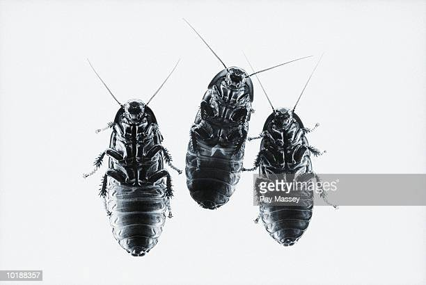 three hissing madagascan cockroaches (gromphadorina portentosa) - cockroach stock pictures, royalty-free photos & images