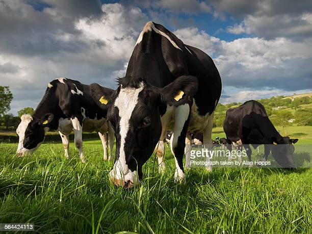 Three Holstein cows grazing