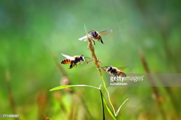 Three honey bees hovering by a blade of grass