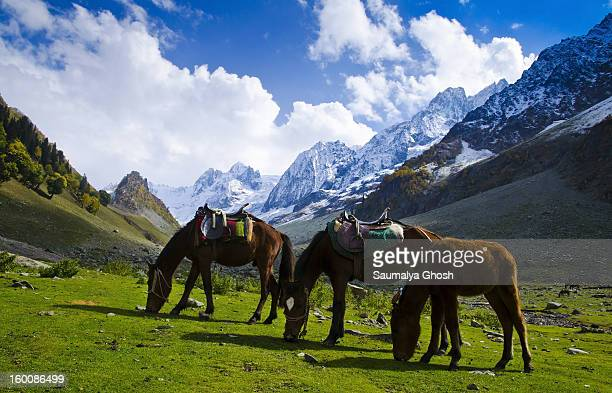 CONTENT] Three horses are eating grass at Sonmarg valley in a pleasant beautiful weather