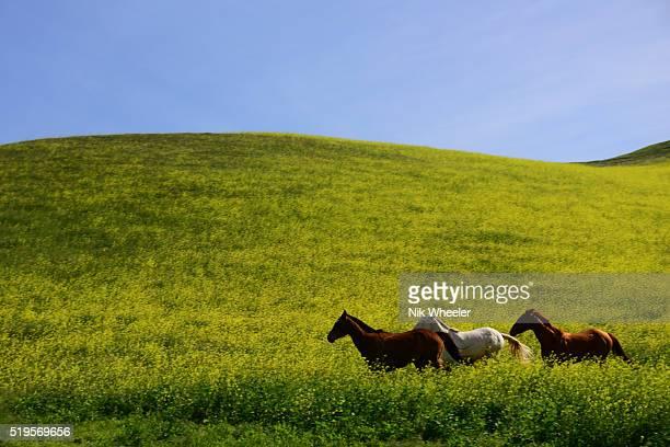 Three horses gallop through yellow spring wildflowers in field near Santa Maria in Southern California, USA