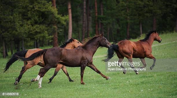 Three horses galloping