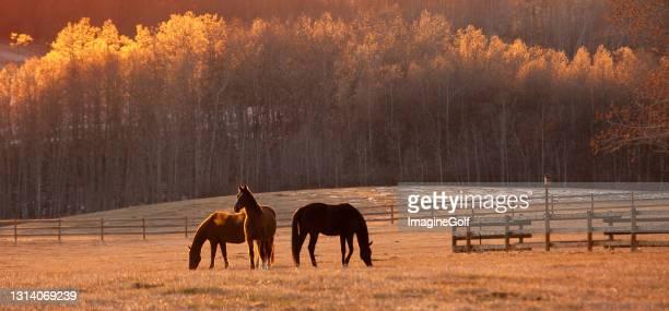 美しい牧草地での秋の放牧で3頭の馬 - 家畜柵 ストックフォトと画像