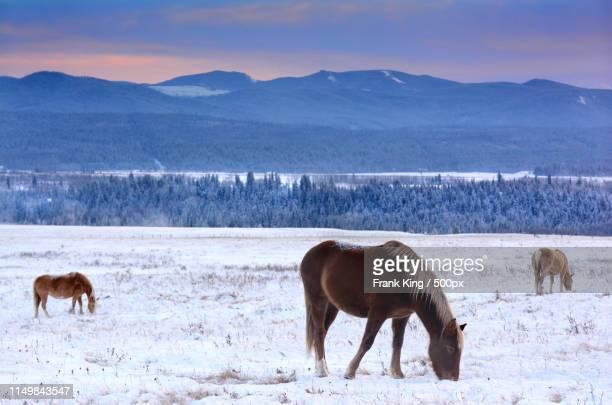 three horses - grazen stockfoto's en -beelden