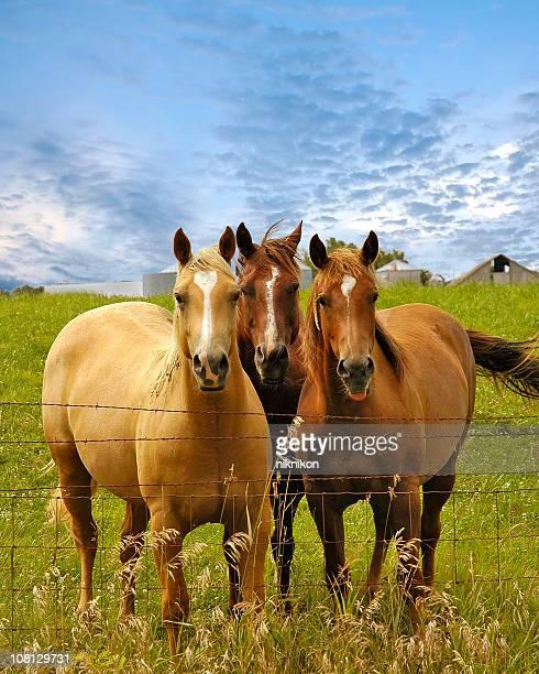 Three Horses Posing in Pasture