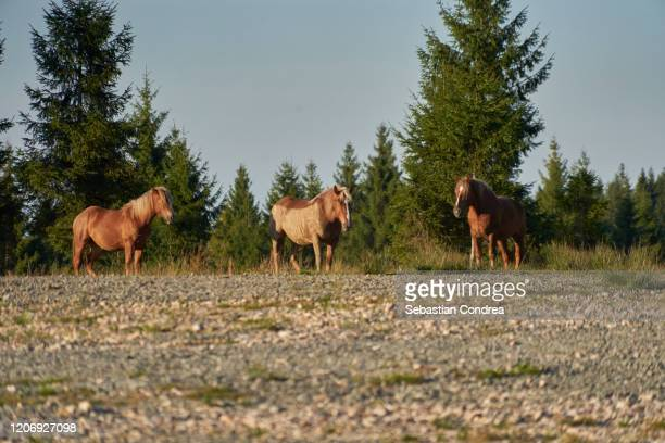 three horses return from easter, nature springtime,transylvania, romania. - horse easter stock pictures, royalty-free photos & images