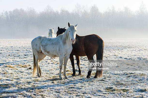 LEPPERSDORF SAXONY GERMANY Three horses two white and one brown are standing on a hoarfrozen meadow