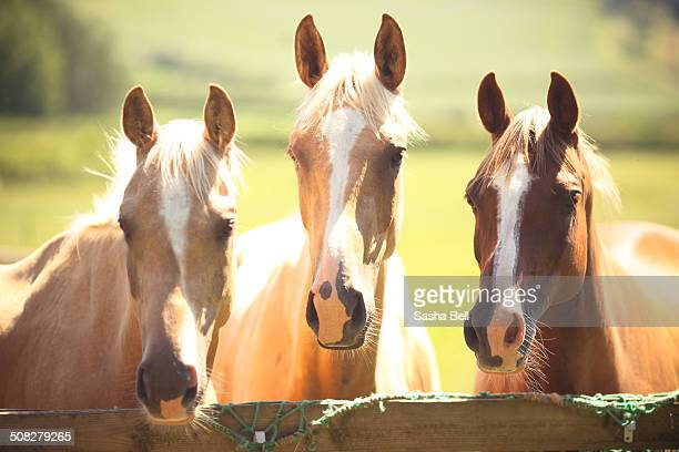 Three Horses Waiting by Fence