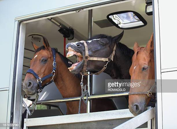 Three horses waiting in a horse box, Norway