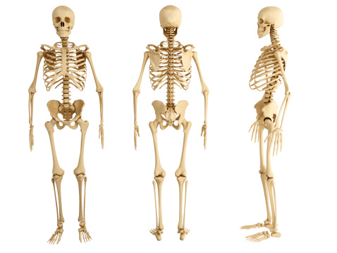 Three human skeletons facing in different directions 451911785