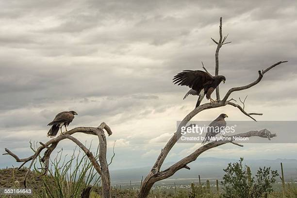 three hwks in a tree - harris hawk stock photos and pictures