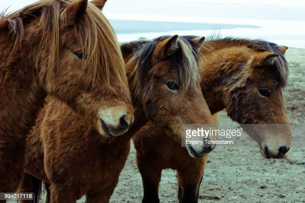 three icelandic horses (equus ferus caballus) standing in a field in iceland - animals in the wild stock pictures, royalty-free photos & images