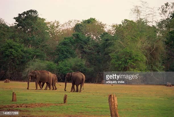 Three Indian elephants (Elephas maximus indicus) walking in a forest, Bandipur National Park, Chamarajanagar, Karnataka, India