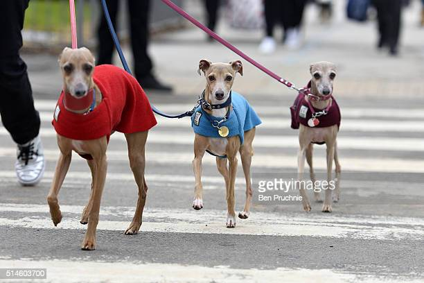 Three Italian greyhounds arrive with their owners on the first day of Crufts Dog Show on March 10 2016 in Birmingham England First held in 1891...